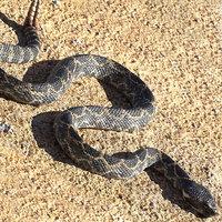3D giant dark rattlesnake snake
