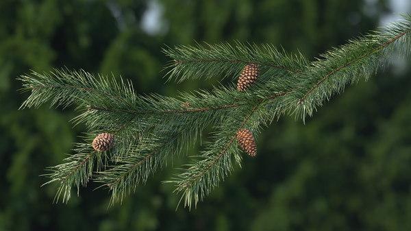 Pine Branch Cones 3d Model Turbosquid 1436141