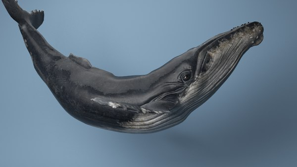 hump whale rigged 3D
