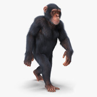 chimpanzee walking light skin fur 3D