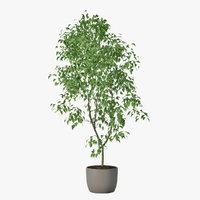 Ficus Benjamin 02