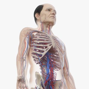 skin elder male skeleton 3D