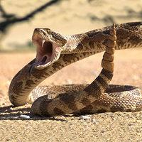 Rattlesnake Rigged for Cinema 4D