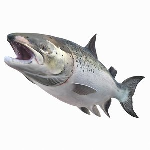 leaping atlantic salmon fish 3D model