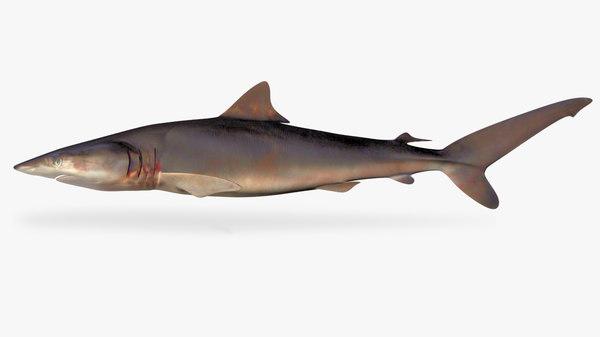 3D silky shark carcharhinus falciformis model