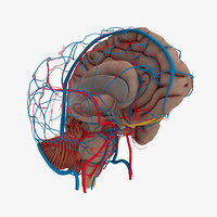 3D model human brain anatomy