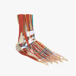 3D model complete human foot anatomy muscles