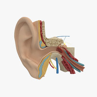 3d model human ear anatomy