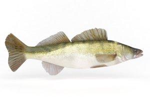 3D zander fish