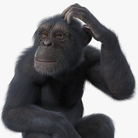 dark chimpanzee sitting pose model