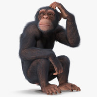 3D light chimpanzee sitting pose