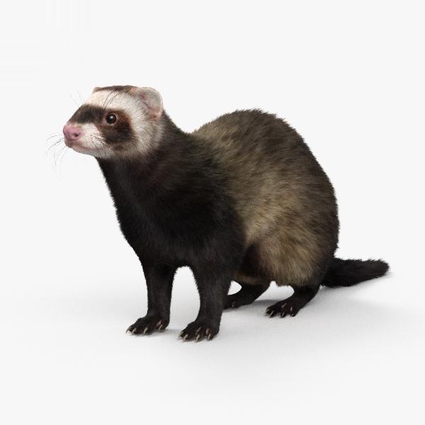3D ferret