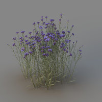 centaurea cornflower model