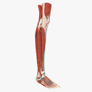 complete anatomy lower leg model