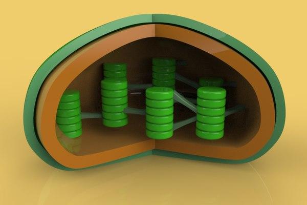 chloroplasts cells 3D model