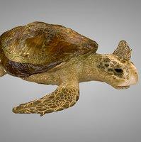 sea turtle ocher brown 3D model