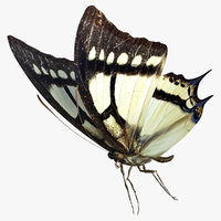 3D Papilio Multicaudata Butterfly model