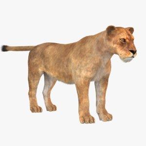 3D fur lioness model