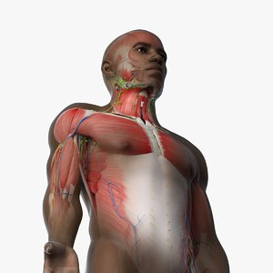 african male anatomy rigged model
