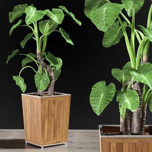 alocasia desert plants 3D model