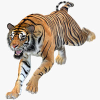 sumatran tiger animations model