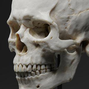 3D realistic human skull model