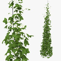 growing green hop plant model