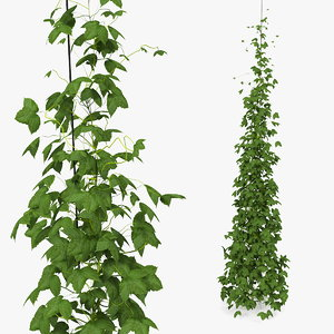 growing green hop plant model