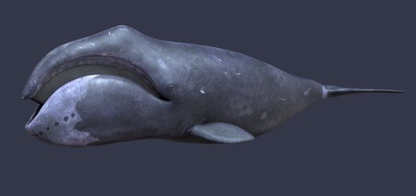 3D whale humpback physeter model