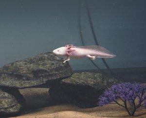 axolotl - 3D model
