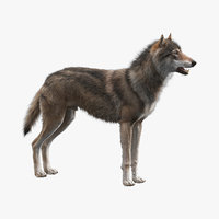 3D realistic wolf