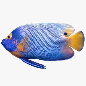 blueface angelfish model