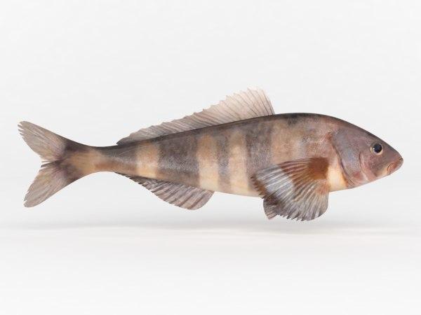 fish greenling 3D