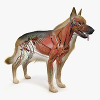 german shepherd anatomy 3D model