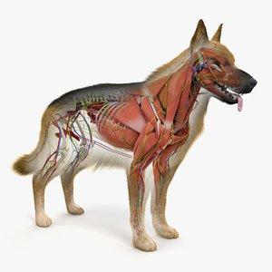 german shepherd anatomy 3D model
