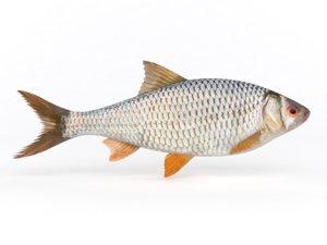 3D model roach fish