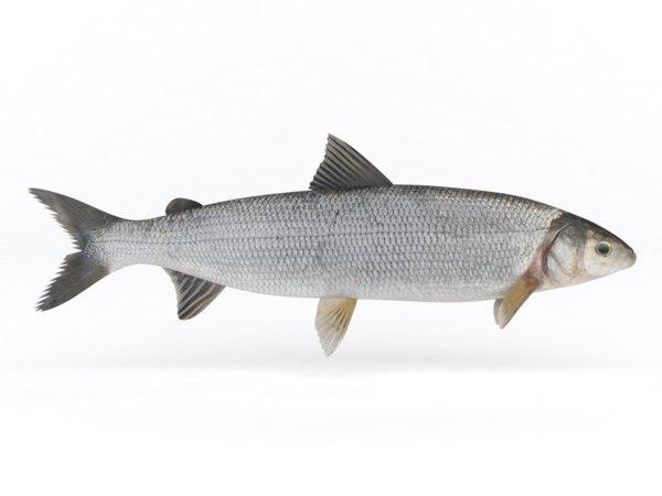 3D fish whitefish model