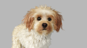 realistic cavoodle dog rigged model
