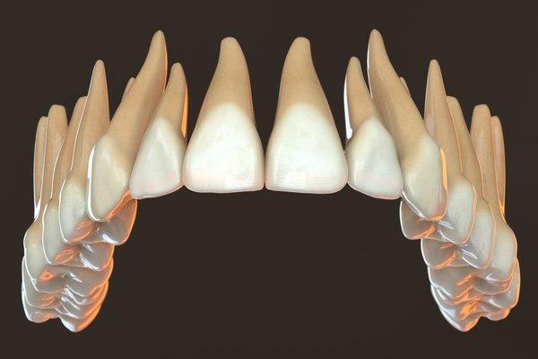 3D model teeth v-ray anatomy dentition