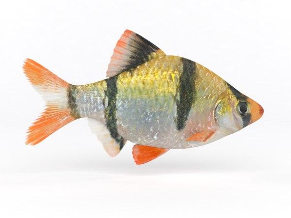 3D tiger barb fish model