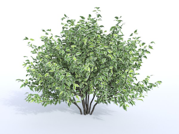 siberian dogwood 1200 cornus 3D model