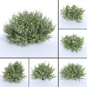 3D siberian dogwood cornus alba model