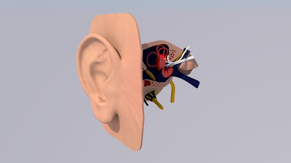 human ear anatomy model