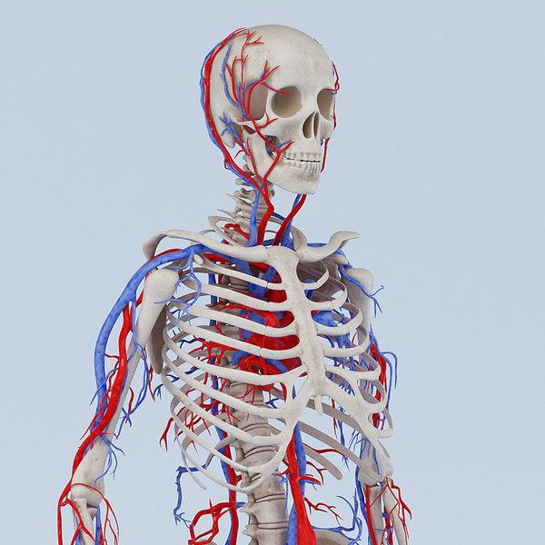 skeleton circulatory obj
