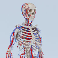 skeleton circulatory obj