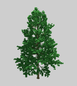 3D forest - white pine