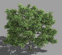 3D forest - tall eucalyptus