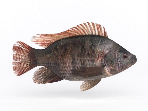 tilapia fish 3D