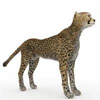 3D model cheetah cheeta chee
