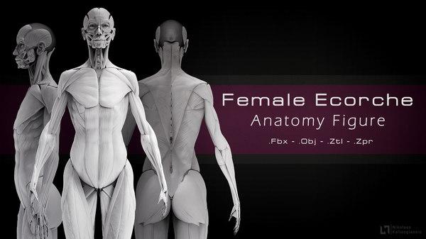 3D female ecorche study anatomy model
